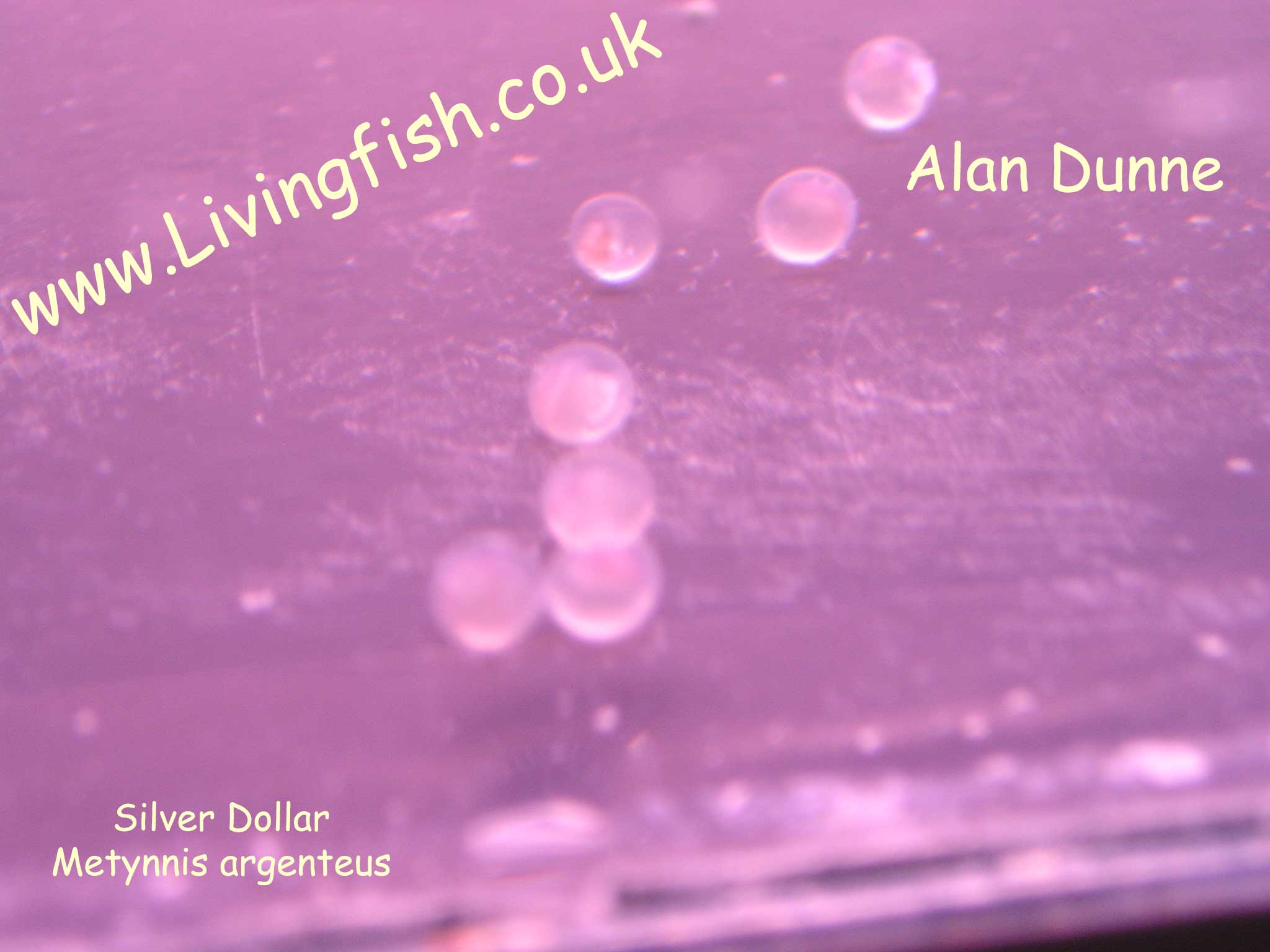 Silver dollar fish eggs - photo#1